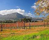 The iconic vineyards of the Cape winelands.