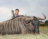 Blue wildebeest bulls average 250kg.