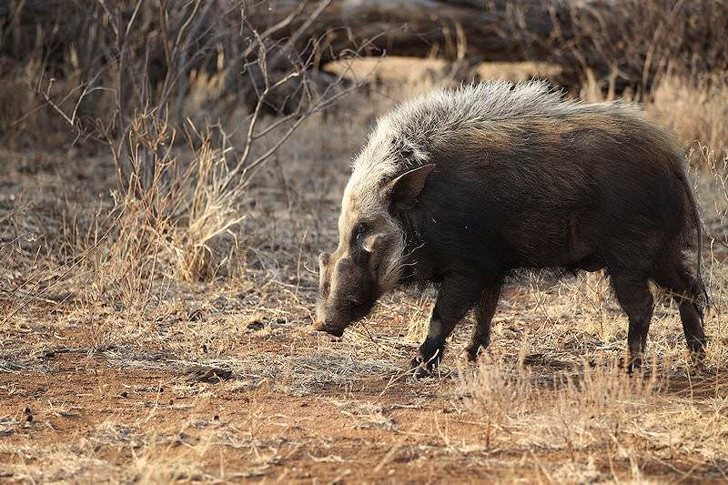Image result for night lion bush pigs