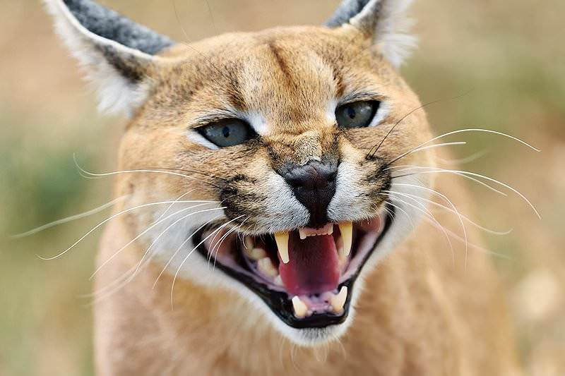 Trophy Hunting The Caracal In South Africa Ash Adventures