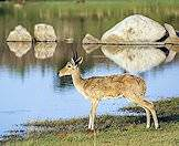 Reedbuck are typically found around permanent water sources.