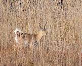 Common reedbuck enjoy the vegetation around permanent water sources.