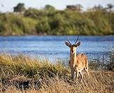 Hunt the common reedbuck with ASH Adventures.