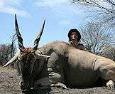 The eland bull's horns are thicker than the cow's.