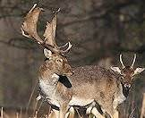 Only male fallow deer carry antlers.