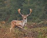 Fallow deer in enjoy the cooler climes of the forest.