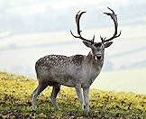 White fallow deer are but a color variation.