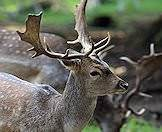 Fallow deer have bespeckled coats.