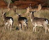 Fallow deer in their natural environment.