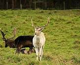 Fallow deer are available in various shades.