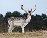 Fallow deer are indigenous to Europe.