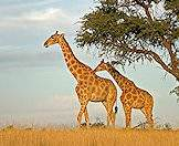 Giraffes favor the leaves of the camelthorn tree.