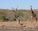 Giraffes are typically encountered in dry woodland areas.