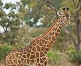 Giraffes can inflict suprising damage with their short horns.