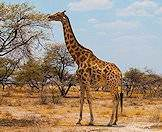 The camelthorn tree is the giraffe's favorite food source.