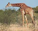 The giraffe is the world's tallest land mammal.