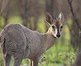 The grey duiker derives most of his moisture from browsing.
