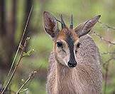 The grey duiker is a handsome little antelope.