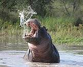 The hippo is one of Africa's most dangerous animals.