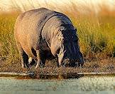 Hippos prefer eating under the cover of darkness.