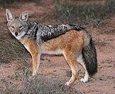 Jackals are largely nocturnal.
