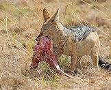 Jackals are successful scavengers.