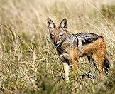 Jackals can adapt well to a variety of habitats.