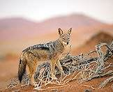 Hunt the black-backed jackal with ASH Adventures.