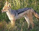 Black-backed jackal occur on many hunting concessions.