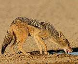 The black-backed jackal is the most common species of jackal.