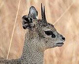 The klipspringer's name translates to 'rock jumper'.