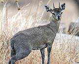 Klipspringers are typically found in rocky areas.