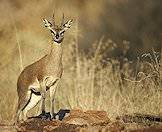 Hunt the little klipspringer on safari with ASH Adventures.