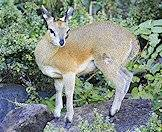 The klipspringer's hooves are ideal for jumping.