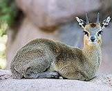 A klipspringer relaxes on a rock.