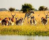 Red lechwe are always located near water.