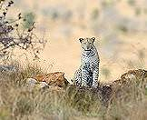 A leopard pauses alertly in the bush.