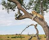 Leopards are accomplished tree climbers.