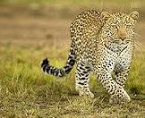 The leopard is one of the continent's most beautiful cats.