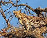 Leopards use trees to protect their meals.
