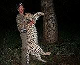 A leopard hunted at night.