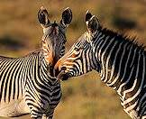 A pair of mountain zebras sniff one another.