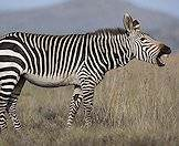 The mountain zebra's stripes are closer together.