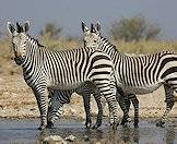 A trio of Hartman's zebra in Namibia.