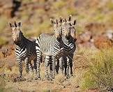 Mountain zebras are social herd animals.