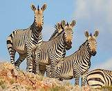 Hunt mountain zebra is the Eastern Cape or Free State.