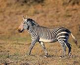 A mountain zebra in South Africa.