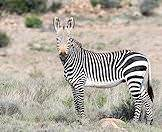 A fine specimen of mountain zebra.