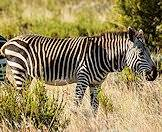A mountain zebra wanders through the bush.
