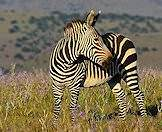 Mountain zebras lack the shadow stripes of Burchell's zebra.